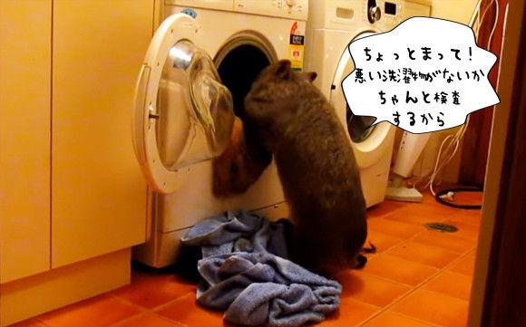 洗濯物を総チェックし仕分け作業を行う品質管理官としてのウォンバット