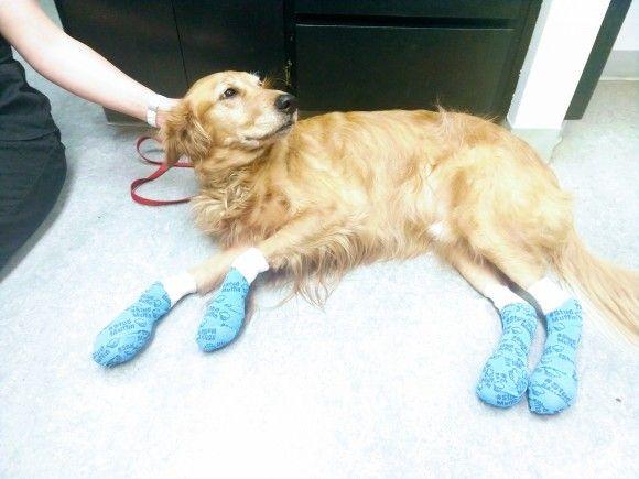 暑い夏の犬の散歩は要注意!焼けただれた足の犬の写真を公開し警告を促すアメリカの獣医(※火傷犬の写真あり)