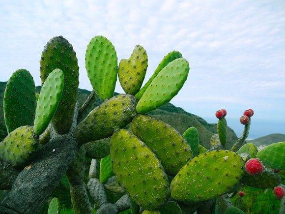 サボテンの葉から安全な生分解性プラスチックを作る方法が発見される(メキシコ研究)