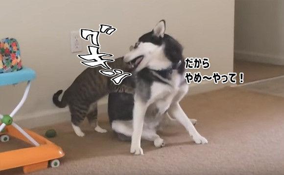 ハスキーと遊びたくてたまらない猫、何度も何度でもタイアタックル!