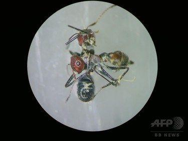 【画像あり】敵を道連れにする「自爆アリ」の複数種 ボルネオ島で発見