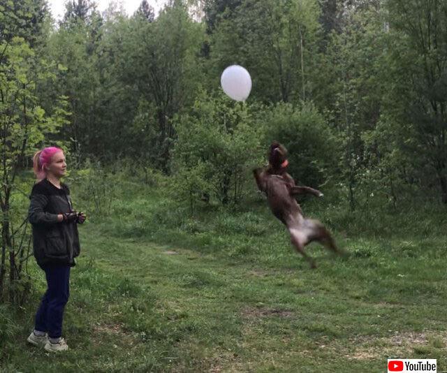 犬の身体能力すごい!地面に落とさずに風船をトスしつづける犬