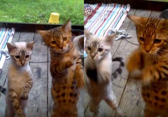 入れてくれにゃん!ベンガルの子猫2匹がガラスのドアをしゃこしゃこ競演中