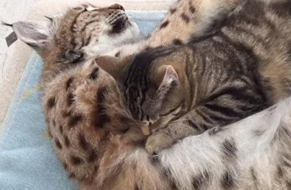 仲良しなんやから~!オオヤマネコとイエネコが抱き合って眠るの