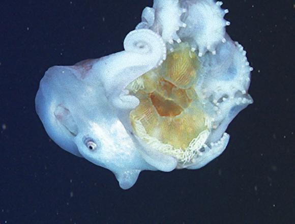 全長4メートル。深海に住む超巨大タコ「カンテンダコ」は食後のクラゲの触手を武器として利用している可能性