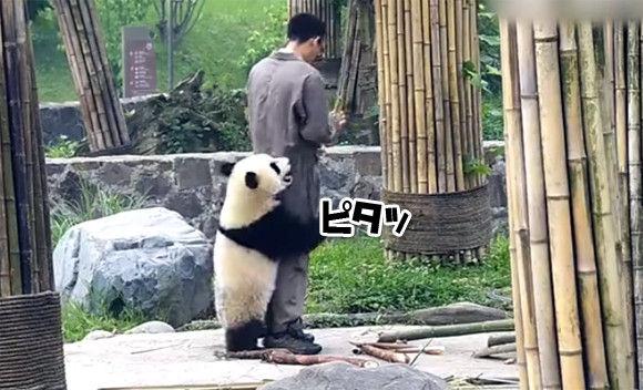 ピタッと密着。ひっつきパンダのいる風景