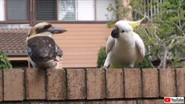 「気になる!」と思ったらもう止まらない!カワセミのしっぽにちょっかいを出しまくるオウム