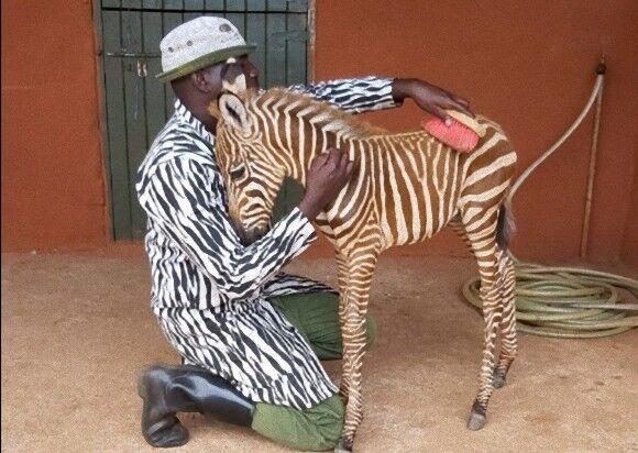 お母さんみたいでしょ?孤児になったシマウマの赤ちゃんの為、ゼブラ柄の服を着てお世話する飼育員(ケニア)