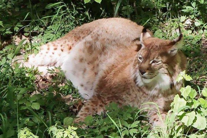 【画像あり】太りすぎた猫(48kg)が完全に別の生物と化していてヤバいwwwwww