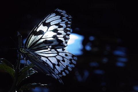 【守護】蝶の恩返し
