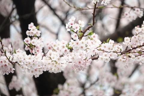 【画像】桜とネッコ撮ってきたンゴWWW