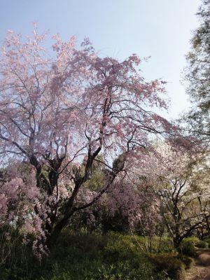 しだれ桜_400