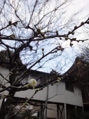 白梅(青軸)つぼみ_400