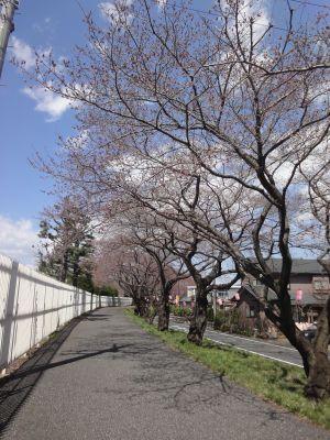 中央体育館付近の桜並木_400
