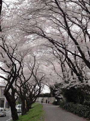 桜のアーチ_400