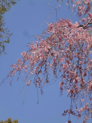 枝垂桜_400