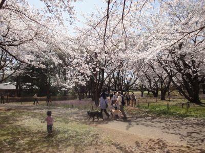 桜散歩_400
