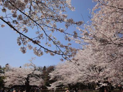 桜のしたでランチ_400