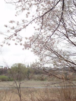 桜の下でお花見_400