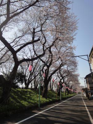 桜並木2_400