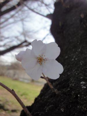 咲いていました_400