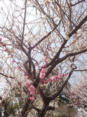 見てみて!一本の木にピンクと白の梅が咲いている!_400