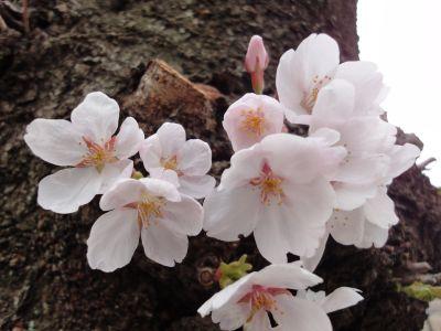 桜_400