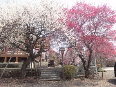 紅白ピンクと数種類の梅が楽しめます!_400