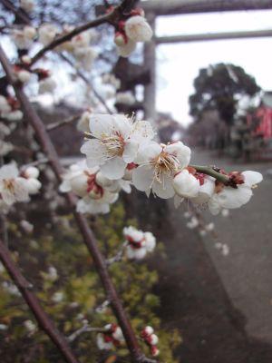 枝垂れ白梅の華_400