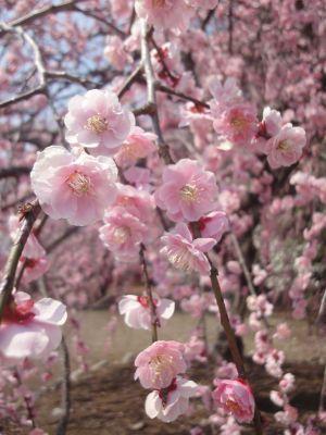枝垂れ梅もキレイに咲いています_400