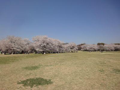 100 桜_400