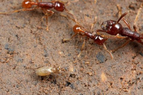 マルセグンタイアリLabidus