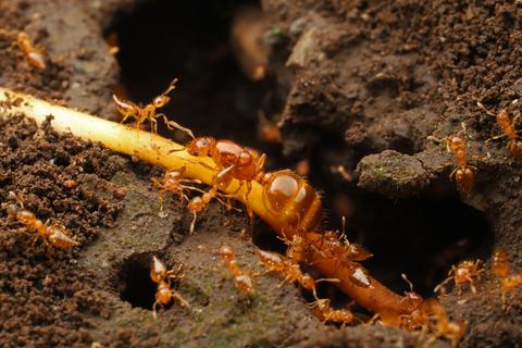 キイロシリアゲアリ