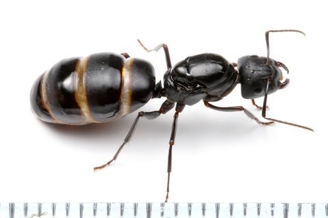 クロオオアリの画像 p1_35