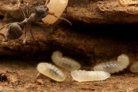 トビイロケアリに寄生するアリヤドリバチの幼虫