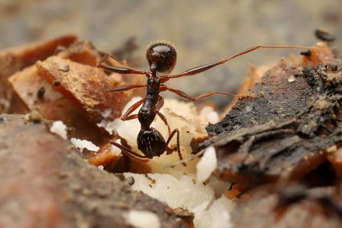 クルミを食べるアシナガアリ