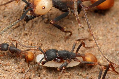 バーチェルグンタイアリEciton burchellii