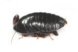 マルゴキブリ