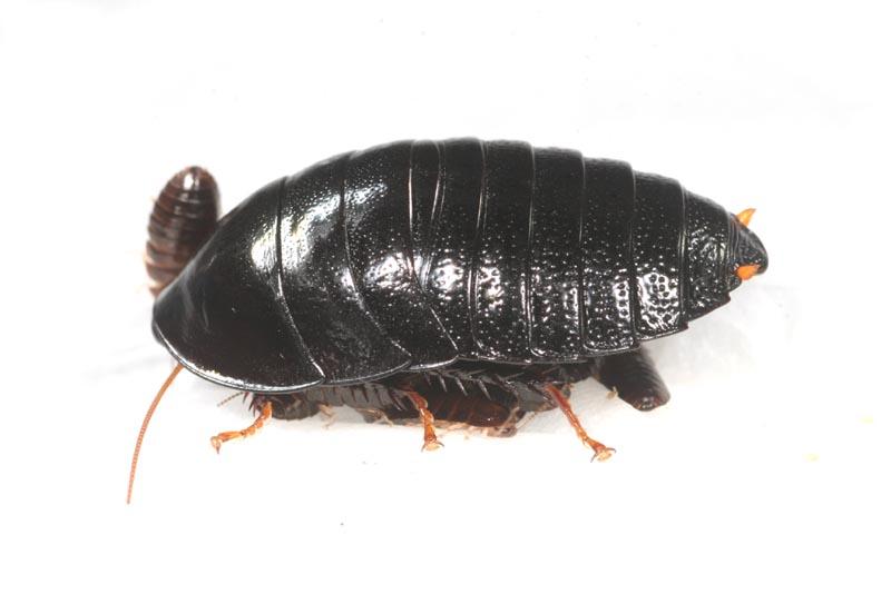 ゴキブリの画像 p1_34