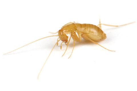 ホラアナゴキブリ