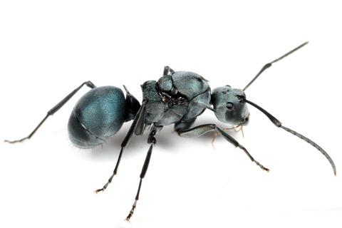青いトゲアリ