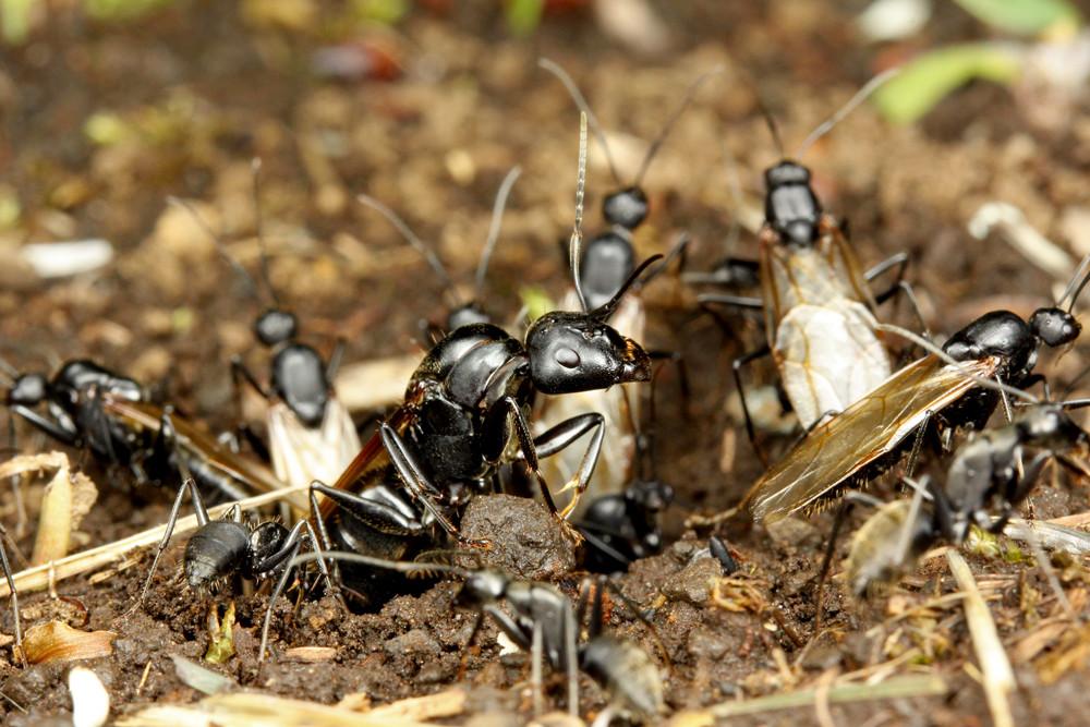 クロオオアリの画像 p1_26