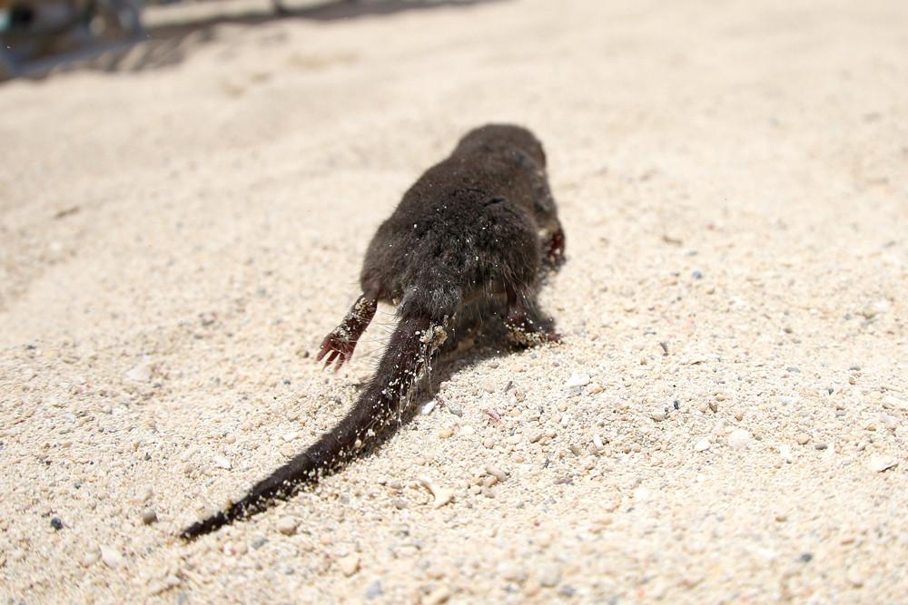ジャコウネズミの画像 p1_19