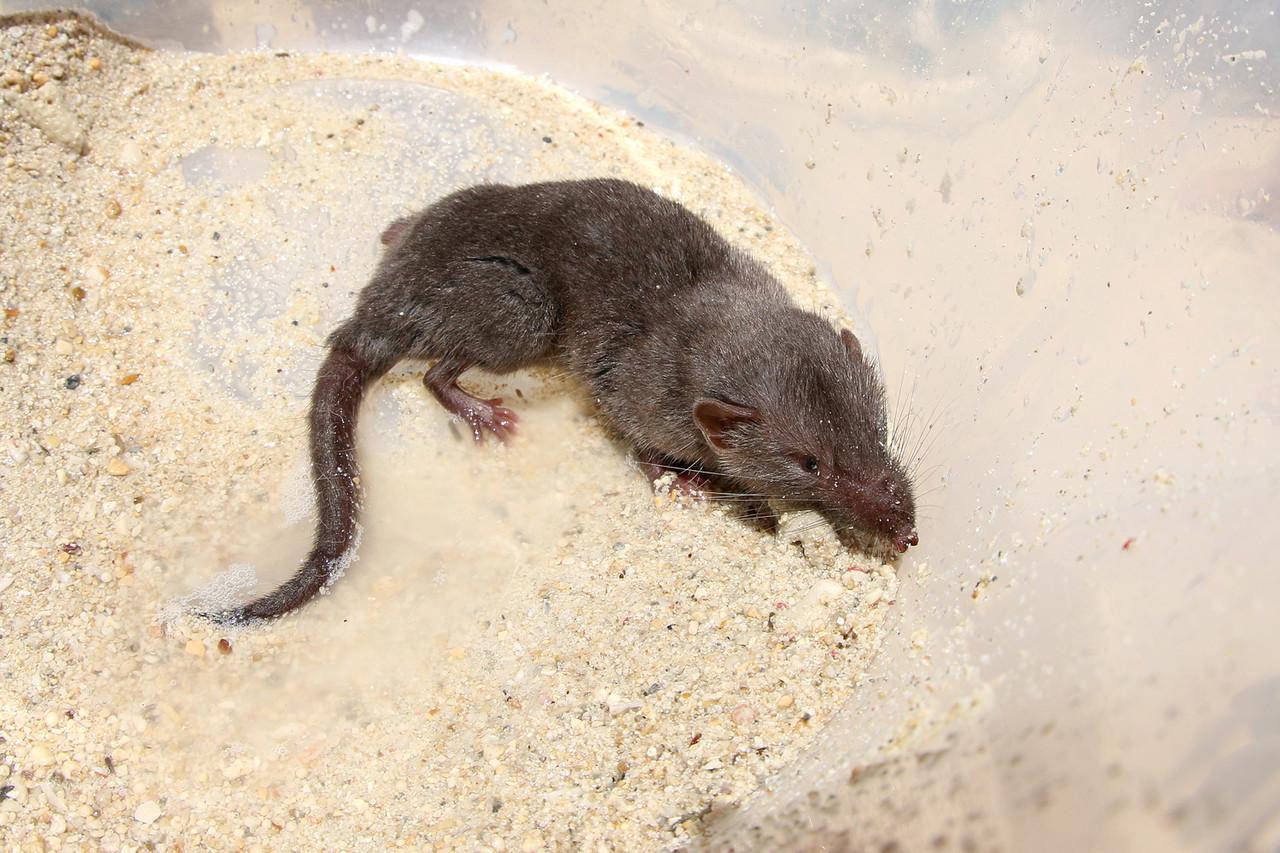 ジャコウネズミの画像 p1_20