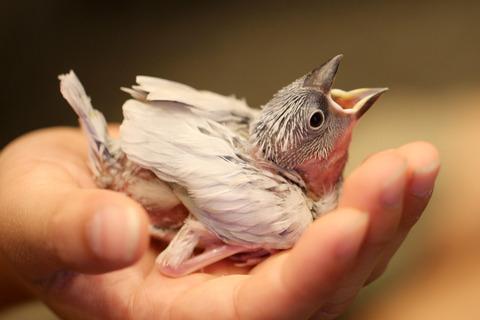 文鳥を育てる