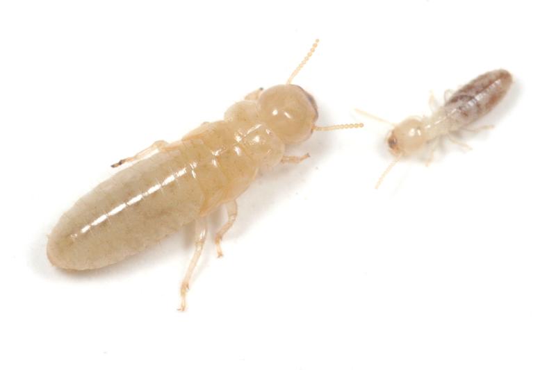 シロアリの画像 p1_32