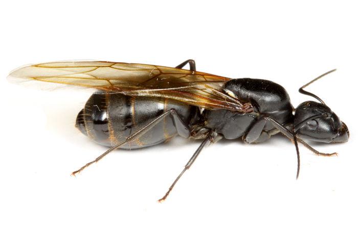 クロオオアリの画像 p1_34