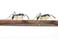 幼虫を運ぶ