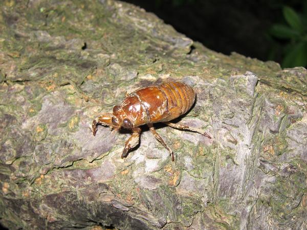 ありんこ日記 AntRoom:セミの幼虫