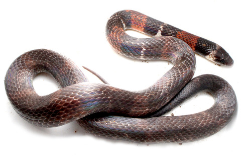 フレンチギアナのヘビ